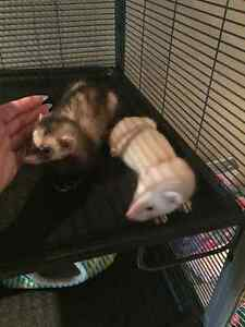 Two Ferrets and Accessories