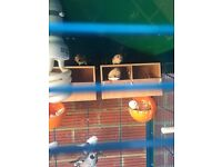 4 Bangalese finches & 10 Zebra finches whole lot for sale,