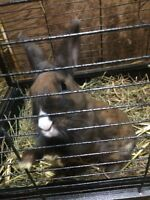 Female dwarf bunny and cage