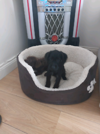 F1 toy poodle x puppy male