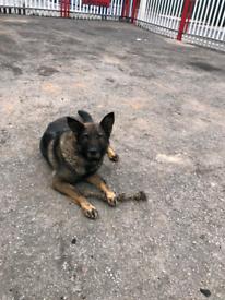 Dog Belgian shepherd