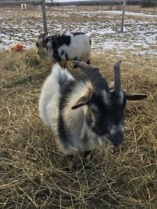 Nigerian Dwarf - Buck - Male Goat - For Sale