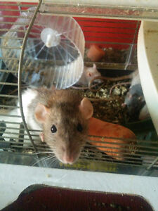 Free rats or 40 for cage and all rats
