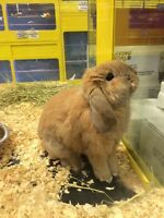 holland lop bunny !