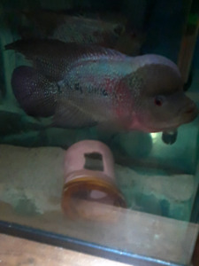 Male and female flowerhorn