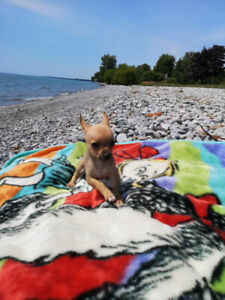 Chihuahua | Adopt Dogs & Puppies Locally in Ontario | Kijiji Classifieds