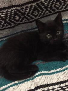 Simease Snowshoe / Persian Kittens