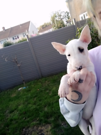 One bitch left 🥺English bull terriers
