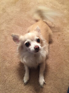 REWARD FOR MISSING CHIHUAHUA