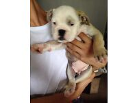 British Bulldogs for sale stunning pups