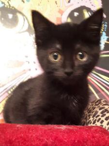Duchess - rescued black female kitten for adoption