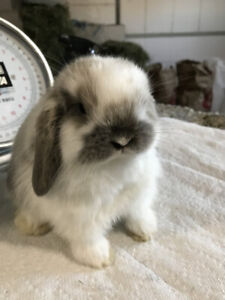 HOLLAND LOP , BABIES,  PURE BRED, CHAMPION PARENTS