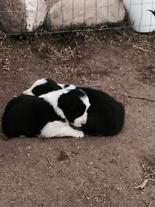 Border Collie pups for sale!!