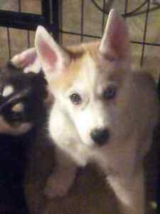 CKC registered Siberian Husky pups Ready to go to their new home