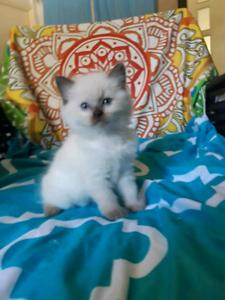 ☆Pedigree Seal Point Ragdoll Kitten☆