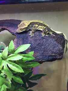 Breeding treo crested gecko