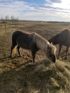 3 ponies for sale