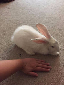 White Rex/Flemish Rabbit needs home by the end of the week!