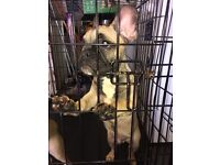 French bulldogs sable