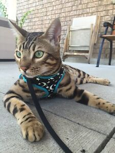 Bengal cat for sale  ( no longer available)