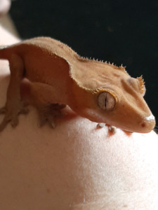 Crested Gecko | Reptiles and Amphibians in Oshawa / Durham