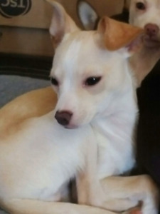 Adopt or rehome pets in london pets kijiji classifieds puppy chihuahua solutioingenieria Image collections
