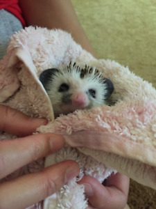 African Pygmy Hedgehog - Comes with all supplies