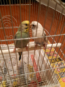 Budgies 2 with cage