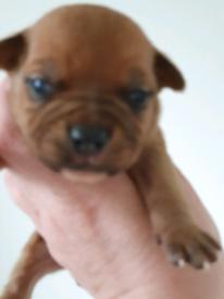 Staffy pups. * staffordshire bull terrier)