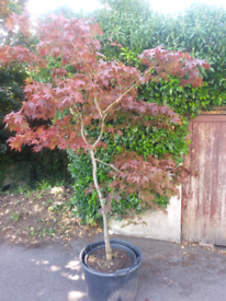 Stunning 8ft tall Acer tree