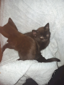 Gorgeous 9 week old kittens! £190