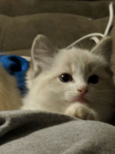 purebred registered ragdoll kittens