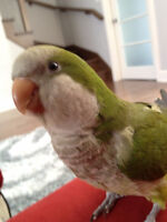 Super friendly Quaker Parrot looking for rehoming