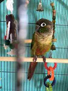 Pair of green cheek conures