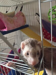 Calling all ferret lovers