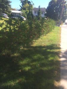 Cedar tree and hedging
