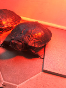 FREE Turtle to give away to good home