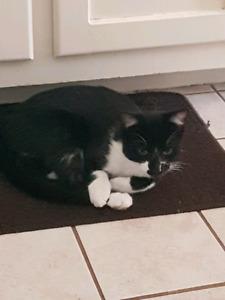 Tuxedo male kitten - Free