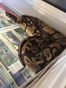 Two male Ball Pythons for sale $50 each