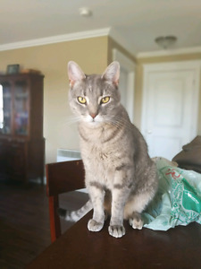 Missing Grey tabby cat