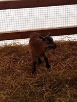 Registered American Blackbelly Sheep