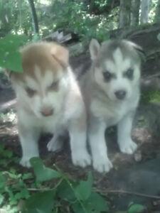 House raised beautiful Siberian husky puppies