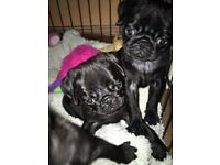 Stunning KC pedigree pug puppies ready to leave NOW