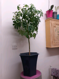 Plant comes with pot