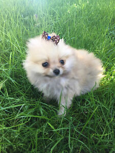 Teacup and Toy Pomeranian Puppies ~  Pom