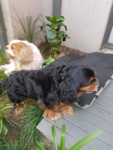 Rehome - cavalier king charles x 2