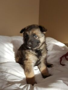 Old World German Shepherd Puppies
