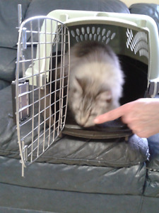 Found Cat - Long Hair Gray and White Tabby