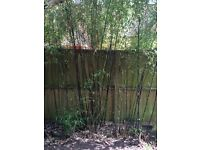 Black bamboo plants