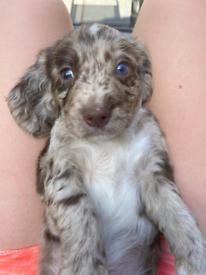 Sprocker merle puppies